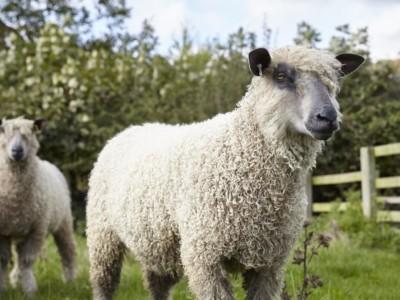 W Sheep 3