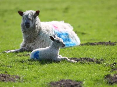 Lambing 01